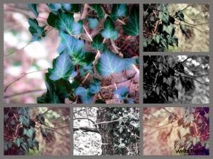 Ivy six ways.