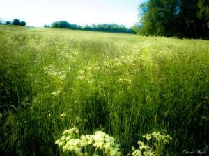 Field in summer